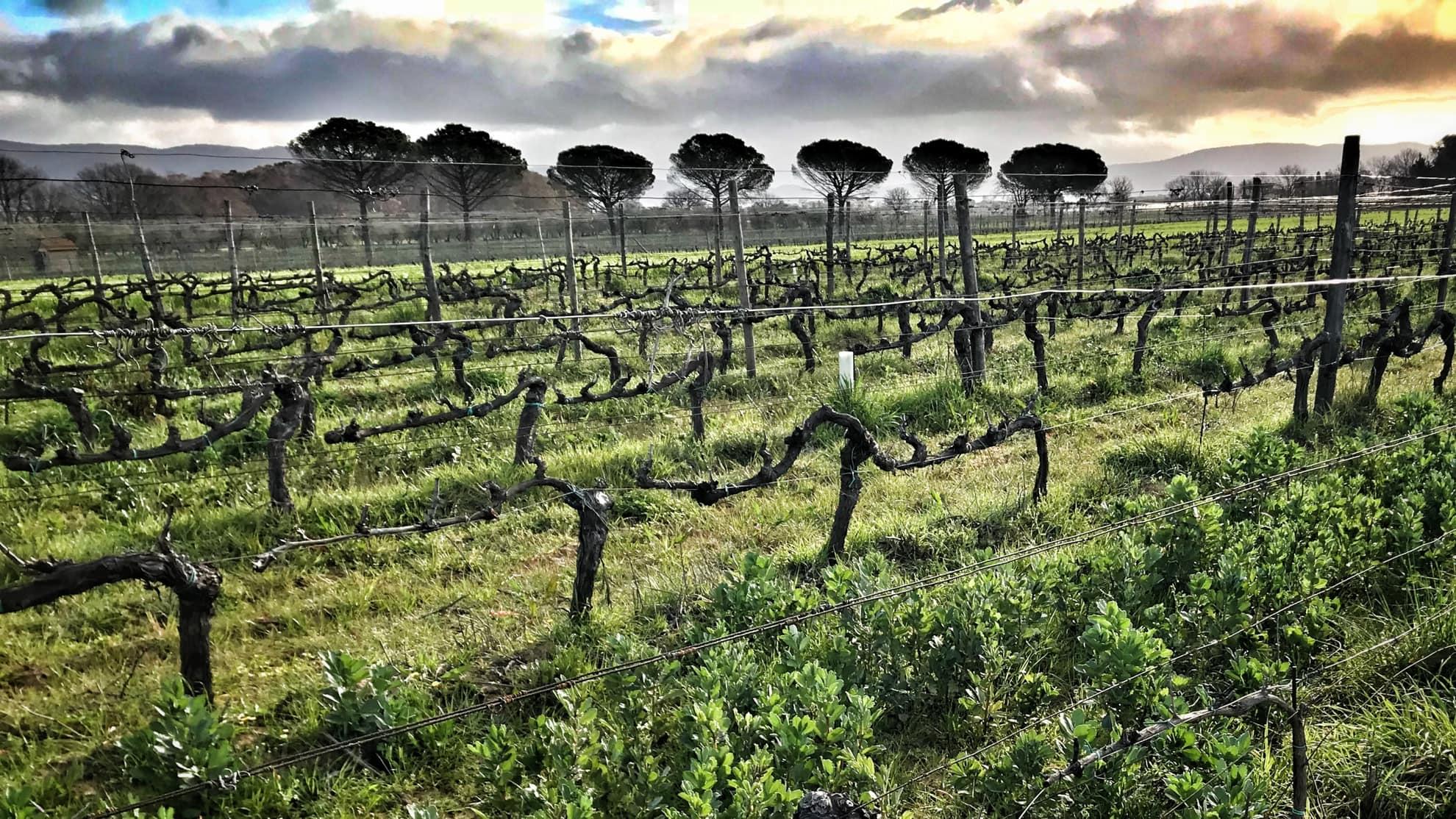 Vineyard Old